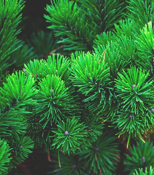 pine-1884335_1920 (1)re